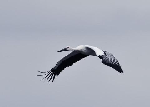 飛ぶ・コウノトリ3389