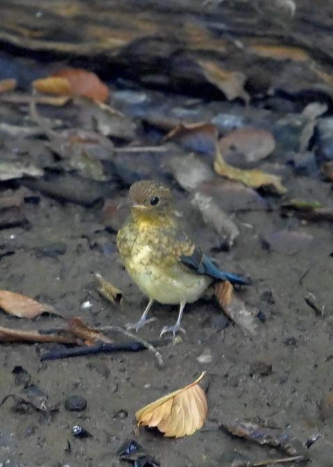 オオルリ♂幼鳥4275