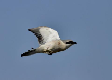 飛ぶ・オオカラモズ4216