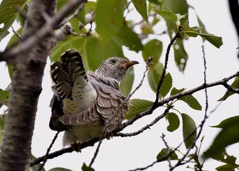 ツツドリ幼鳥5498