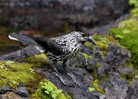 ホシガラス幼鳥3484
