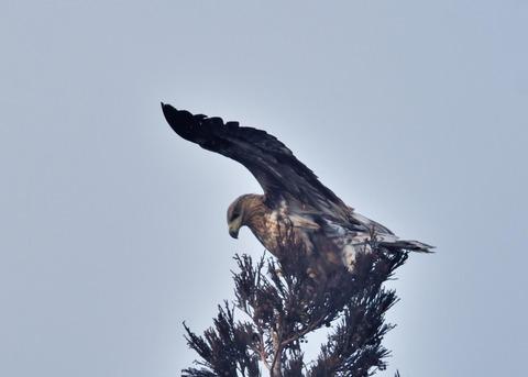 オジロワシ若鳥9305