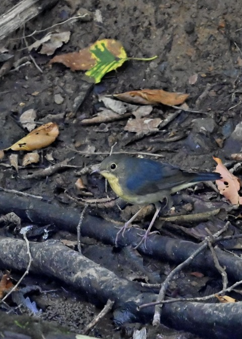 コルリ♂幼鳥2566