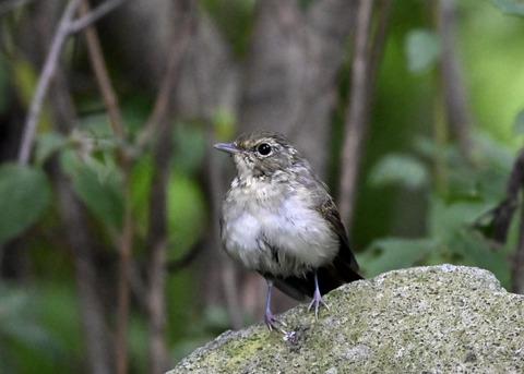 キビタキ♀幼鳥1062
