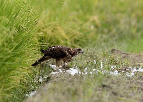 オオタカ若鳥3188
