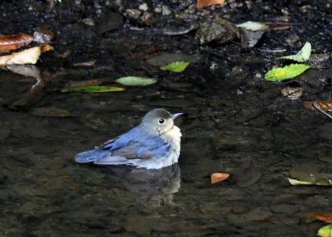 コルリ♂幼鳥7283