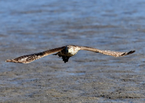 オオタカ若鳥0864