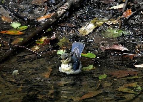 コルリ♂幼鳥4095