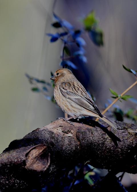オオマシコ若鳥8873