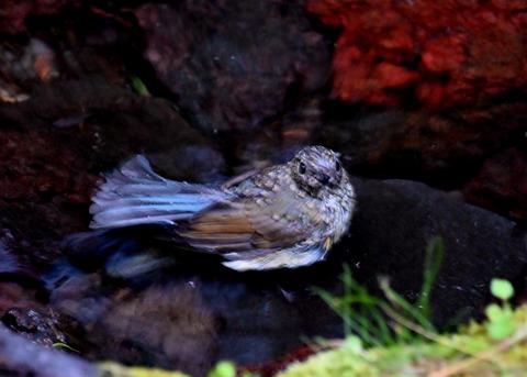 ルリビタキ幼鳥8252
