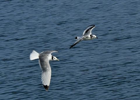 ミツユビカモメ第一回冬羽と成鳥5403