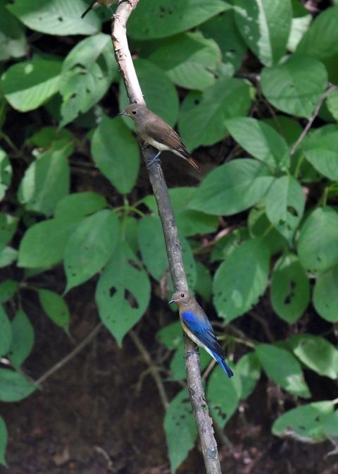 オオルリ♂幼鳥4087-01