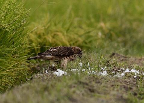 オオタカ若鳥3246