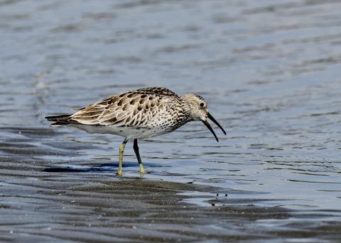 オバシギ若鳥1366