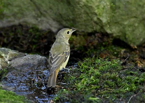 キビタキ♀幼鳥1302