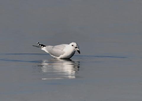 ズグロカモメ冬羽5022