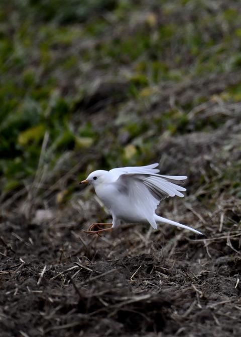 飛ぶ・白化ハクセキレイ7642