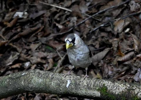 イカル幼鳥1208