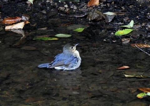 コルリ♂幼鳥7289
