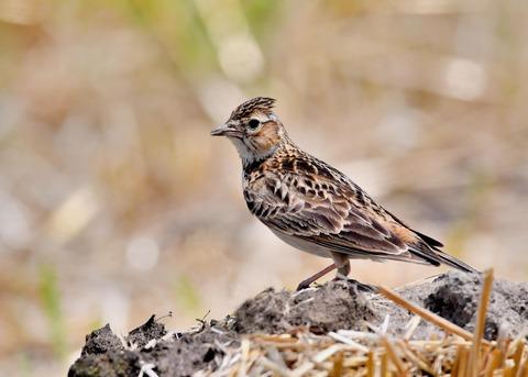 ヒバリ若鳥3778