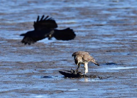 オオタカ若鳥0578