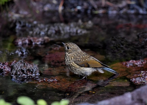 ルリビタキ幼鳥1187