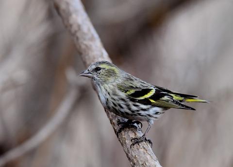 マヒワ若鳥3299