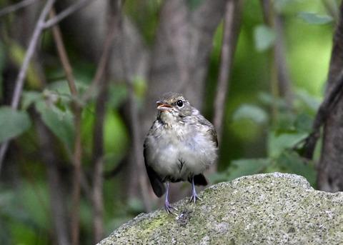 キビタキ♀幼鳥1072