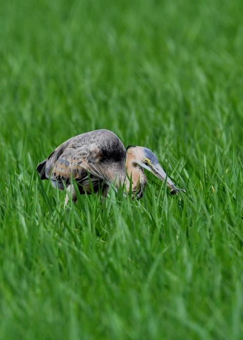 ムラサキサギ若鳥2497