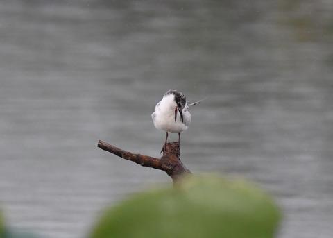 クロハラアジサシ幼鳥1842