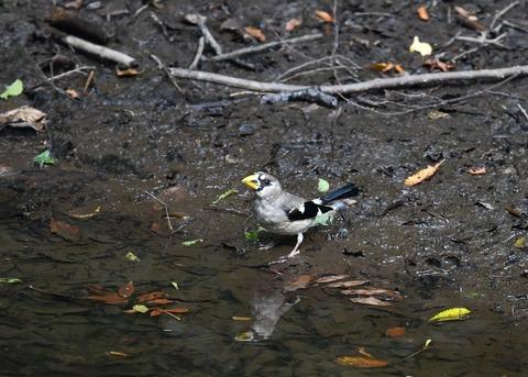 イカル幼鳥9521