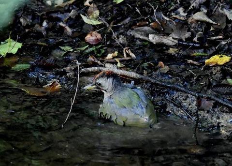 アオゲラ幼鳥♂8573