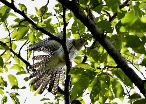 ツツドリ幼鳥5677