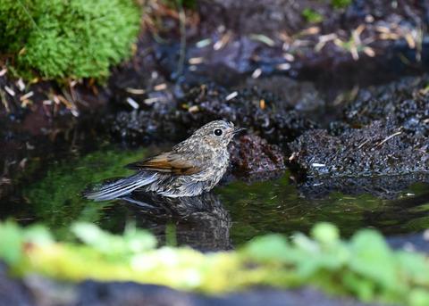 ルリビタキ幼鳥2546-02