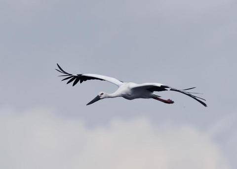飛ぶ・コウノトリ3399