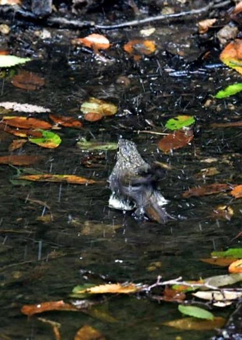 キビタキ幼鳥0807