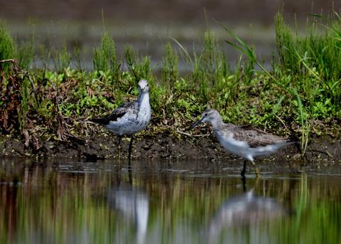 アオアシシギ幼鳥2786