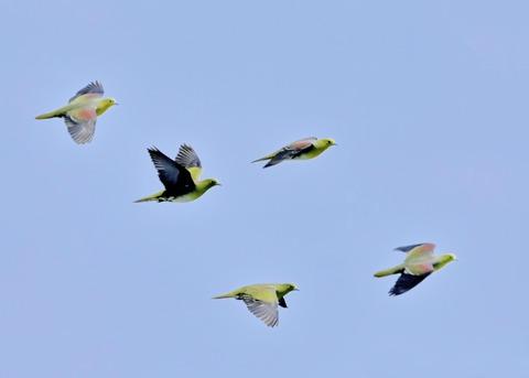 飛ぶ・アオバト♂♀4104