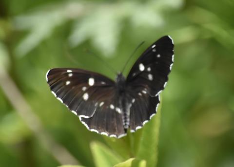 フタスジチョウ黒化型1086