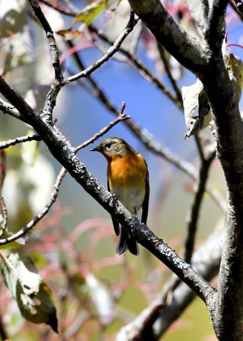 ムギマキ若鳥②♂4227
