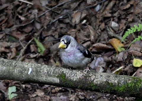 イカル幼鳥1227