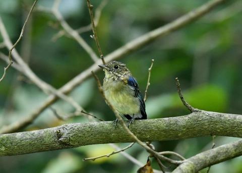 オオルリ♂若鳥0473