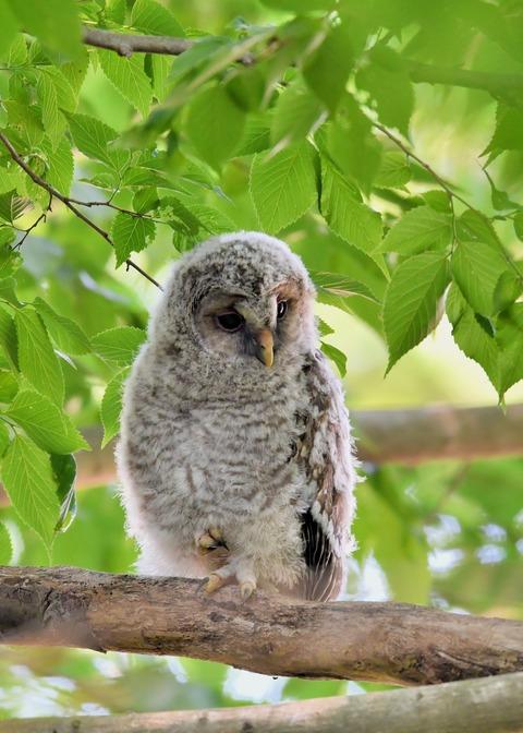 フクロウのヒナ6811
