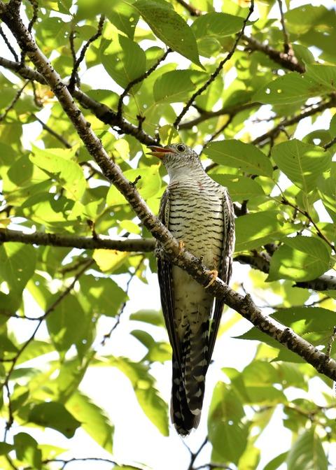 ツツドリ幼鳥6455
