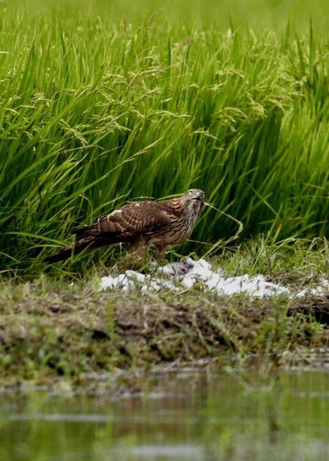 オオタカ若鳥2876