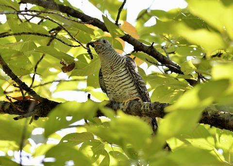 ツツドリ幼鳥5763
