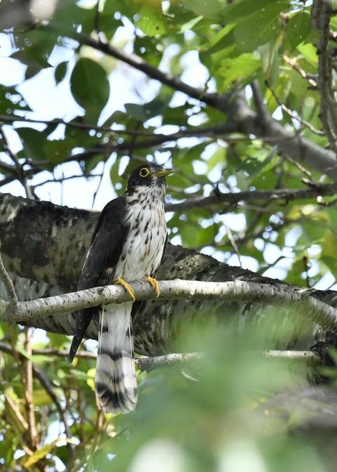 ジュウイチ幼鳥2889