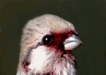 ベニマシコ♂2718