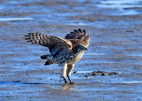 オオタカ若鳥0838