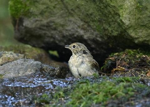 キビタキ♀幼鳥1048